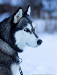 Baylor Regional Park, McLeod For Tomorrow Winterfest, and Robert Ney Memorial Park will have dog sled events this winter.