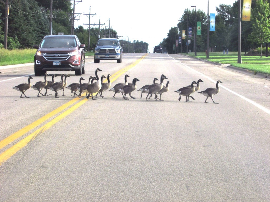 Flocks of geese and goslings have been seen crossing McLeod County Road 1 in Winsted.