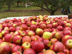 Luce Line Orchard in Watertown has apples galore.