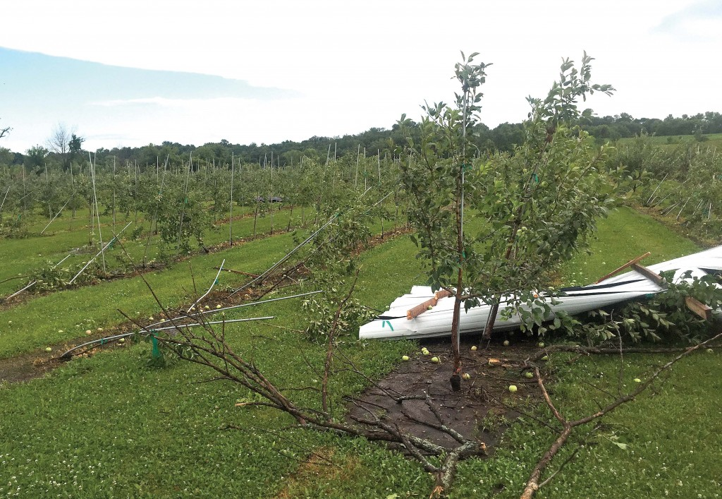 Thousands of apple trees toppled at Luce Line Orchard near Watertown during the overnight storm July 17.